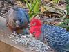 Canberra '15 (faun070) Tags: ganggangcockatoo canberra parrot wildlife australia cockatoo
