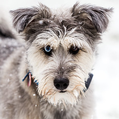 Gunner 2017 Snow Portrait 2 (Photo CDR) Tags: colonia dog firstsnow gunner home nj snow snowfall winter