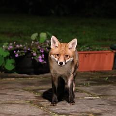 Come a little closer... (stellagrimsdale) Tags: fox night eyes face lookingatme garden nature wildlife wildanimal nighttime nightshoot animal fantasticnature 7dwf