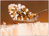 Aurorafalter (Heinze Detlef) Tags: falter insekt tier makro macro fühler holz aurorafalter lebewesen