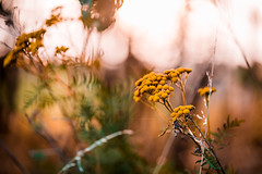 (jakub.sulima) Tags: nikon d750 nikkor 85mm 18g natur nature flora flores flower plant fleur autumn fall poland scenery landscape naturaleza serene evening summer november sun sunlight sunset field glade wild wildlife bokeh bokehlicious dof depthoffield goldenhour pretty out outside outdoor sunny flickr countryside colours colorful yellow orange pink white gold green beige brown pastel leaf leaves foliage closeup hiking europe macro spider web
