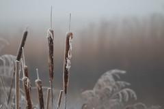 The seasons are changing (Thijs de Bruin) Tags: lisdodde bulrush autumncolors