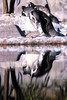 what are you looking at (Paul Wrights Reserved) Tags: penguin reflection zoo animal mirror water looking nature