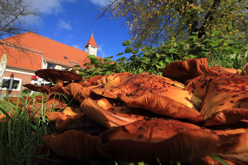"""Hallimasche (Armillaria) (17) • <a style=""""font-size:0.8em;"""" href=""""http://www.flickr.com/photos/69570948@N04/38161100022/"""" target=""""_blank"""">View on Flickr</a>"""