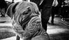 The big good boy (TheLionPo) Tags: dog perro animals animalplanet animaladdiction animales animal blackwhite bw blackandwhite byn blancoynegro blacandwhite pets mascota