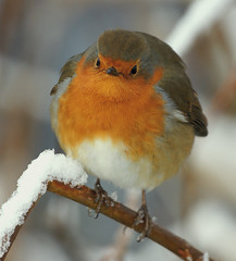 Oh misery! Snow is on the way! (SteveJM2009) Tags: sad mouth downinthemouth hungry puffedup fluffedup cold winter snow robin branch detail feathers bokeh plumage twig expression ball frozen freezing throop bournemouth dorset uk december 2010 stevemaskell unhappy redbreast chest roundrobin puffball beak eyes face forlorn cheerless fatmanorrobin fatman naturethroughthelens