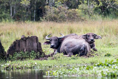 The watching buffalo