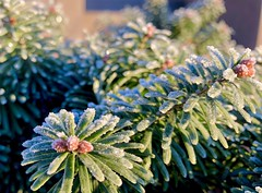 Frost on conifer (piranhabros) Tags:
