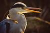 Grey Heron Pretending To Be A Kookaburra (paulinuk99999 (lback to photography at last!)) Tags: paulinuk99999 grey heron london surrey wildlife sunset autumn light sal70400g