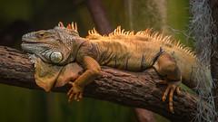Leguan / Iguana (chrisar676) Tags: badenwürttemberg canon canonef85mmf18usm canoneos5dmarkiii deutschland eos europa europe germany leguan tiergartenulm ulm zoo iguana