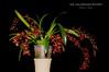 Gomoncidochilum Leon Glicenstein HCC/AOS (Orchidelique) Tags: nature plant flower exotic orchid hybrid gomoncidochilum gch leonglicenstein cyrtocidum ctd garnetstar gomesa gom echinata hcc aos ncjc jdunkelberger