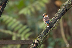 Grosbec casse-noyaux (Tifaeris) Tags: coccothraustescoccothraustes fringillidés grosbeccassenoyaux hawfinch passériformes bird oiseau sundaylights