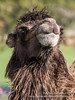 _MG_0136.jpg (Ashley Middleton Photography) Tags: warminster england unitedkingdom mammal camel wiltshire longleatsafaripark europe bactriancamel animal