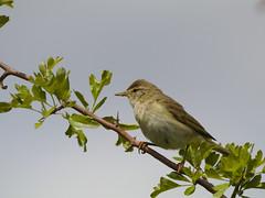 Willow Warbler (stephen.reynolds) Tags: willow warbler warwickshire wildlife trust harbury burd perch blue sky