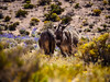PA190643 (chrhuber) Tags: 2017 7tag atacama chile esel urlaub wüste sanpedrodeatacama regióndeantofagasta cl
