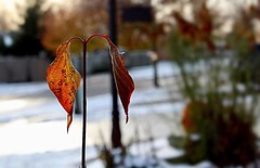 A Cold Morning in November (Haytham M.) Tags: plants snow outdoors canada ontario autumn fall morning november sunrise leaves leaf