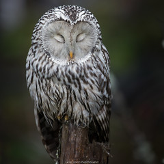 Sleeping. (laurilehtophotography) Tags: 200500mm 2017 d610 laajavuori nikkor nikon pöllö syksy suomi finland jyväskylä nature owl predator bird wildlife photography sleeping bokeh autumn fall awesome luonto viirupöllö