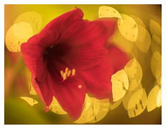Getting in the mood for Christmas (leo.roos) Tags: amaryllis hippeastrum red yellow rood geel a7rii lomopo1091af50f12 12 projectorlens projectionlens russianlenses sovietglass lenkinap lomo darosa leoroos ro1091a xif