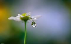 fragile - 4074 (YᗩSᗰIᘉᗴ HᗴᘉS +12 000 000 thx❀) Tags: drop droplet flower fleur flora goutte perle pearl daisy pâquerette hensyasmine yasminehens macro soft