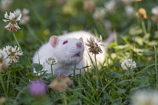 Rat among flowers