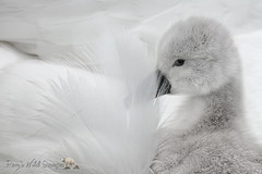 Shy Baby (PamsWildImages) Tags: swan bird baby signet canada canon nature naturephotographer wildlife wildlifephotographer pammullins pamswildimages mute