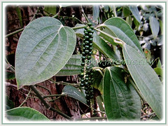 Vining Piper nigrum with unripen green fruits and egg-shaped foliage (jayjayc) Tags: flickr17 jaycjayc malaysia kualalumpur pipernigrum ladahitam whitemadagascarpepper commonpepper blackpepper peppervineplant green vines perennials