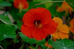 Red flower (Carandoom) Tags: 2017 suisse switzerland plante plant fleur flower macro jardin brillant rouge red garden botanic botanique