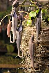 Nepenthes lingulata (Hejemoni (@fbauzonx on Instagram)) Tags: nepenthes lingulata nativeexotics gardening strobist carnivorousplants pitcherplants nature horticulture