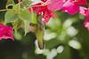 Antillean Crested Hummingbird (female) (ronmcmanus1) Tags: jollyharbour stmarysparish antiguabarbuda antigua bird caribbean nature outdoors wildlife