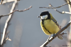Cinciallegra (Parus major), Great Tit (pittarelloclaudio) Tags: great tit birdwatching vinovo parus major cinciallegra