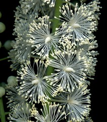 58619.17 Actaea racemosa (horticultural art) Tags: horticulturalart actaearacemosa actaea flowers closeup