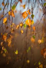 last leaves / letzte Blätter (drummerwinger) Tags: rot unschärfe canon700d 50mmstm bätter herbst tropfen tau morgen