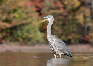 Grand Héron - Ardea herodias - Great Blue Heron