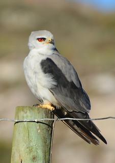 Black Shouldered Kite Langebaan