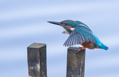 Kingfisher (cogs2011) Tags: canon sigma nature wildlife kingfisher