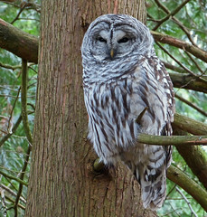 Owl's Well That Ends Well! (ebirdman) Tags: barredowl barred owl strixvaria strix varia female