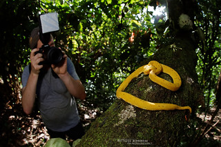 Shooting of Bothriechis schlegelii, Costa Rica
