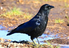 American crow at Decorah Prairie IA 854A7315 (lreis_naturalist) Tags: american crow decorah prairie winneshiek county iowa larry reis
