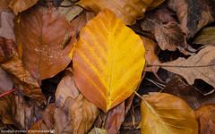 Last remains of autumn. (andreasheinrich) Tags: nature forest path leaf autumn october afternoon overcast colorful germany badenwürttemberg neckarsulm dahenfeld deutschland natur wald weg blatt herbst oktober nachmittag bewölkt farbenfroh nikond7000