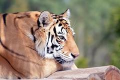 Nanda 33 (castorssito) Tags: tiger zoo aragon cdmx felinos bigcats grandesfelinos nikon nikond3200