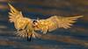Royal Tern (Eric Gofreed) Tags: california crownpoint royaltern sandiego tern