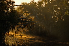 Sunrise (River-Life) Tags: riverlife florida nikon d5300 outdoors outdoor nature circlebbarreserve sunrise foggy mist trees water moss morning