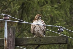 Young Red Tail hawk (a56jewell) Tags: a56jewell hawk nov redtailhawk red tail roadside polefall