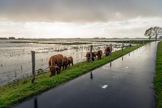 Highland cattle - Schotse Hooglanders
