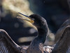 European shag, Toppskarv (Phalacrocorax aristotelis) (Lars Thorén) Tags: runde norway shag bird olympus300mmf4 olympusem1mkii