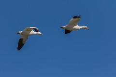 Goosy Eye (Phal44) Tags: canon 7d2 7d mk2 200400 200400mm canada bird bif birdinflight f4l snow geese goose quebec autumn migration migratory stlawrence