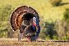 Wild Turkey (Bob Gunderson) Tags: birds california meleagrsisgallopavo northerncalifornia ranchosanantonio santaclaracounty southbay thrushes uplandbirds wildturkey