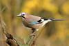Eurasion Jay (david.england18) Tags: eurasionjay jay smallbirds various tits blue great coal queensparkheywood localpark canon7dmkll canonef300mmf4lisusm birdsuk