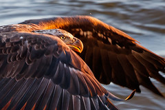 Bald Eagle - Sunrise Pickup (Jerry_a) Tags: bird birds eagle baldeagle birdinflight birdsofprey raptor canon600mmf4isusmii canon1dxmarkii maryland conowingodam