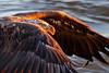 Bald Eagle - Sunrise Pickup (Jerry_a) Tags: bird birds eagle baldeagle birdinflight birdsofprey raptor canon600mmf4isusmii canon1dxmarkii maryland conowingodam